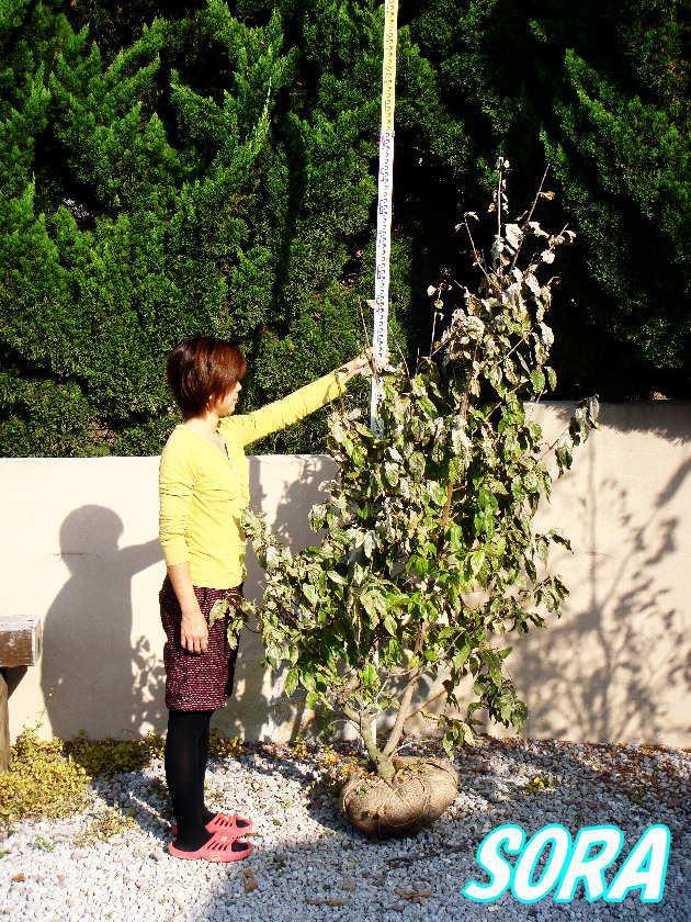 ロウバイ 単木 樹高H:1500mm 【RCP】05P13Dec15