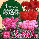 【シクラメン】鉢花 6号鉢 シクラメン パステルシクラメン 誕生日 花 クリスマスプレゼント 鉢植え
