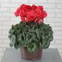 【シクラメン 鉢花】5号鉢 シクラメン パステルシクラメン 誕生日 花 クリスマス プレゼント 花