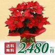 ポインセチア 鉢花 大きめ5号鉢 ギフト用 ポインセチアの鉢植え 花 ポインセチア 誕生日 花 クリスマス プレゼント 花