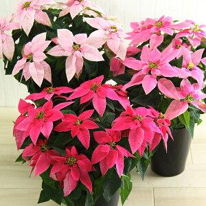 送料無料【プリンセチア】3種の色でおまかせ ウインターギフト ポインセチア 誕生日 花 クリスマス プレゼント 鉢植え