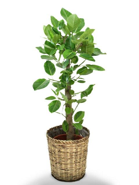 アルテシーマゴムの木8号【対応】【送料無料】【鉢カバーセット】【立て札&メッセージカード無料】ゴムの木の中でも葉色がとても美しい観葉植物です!10P03Sep16 【鉢カバー不要の場合は-1,700円】黄緑色の葉が鮮やかで、1鉢置くだけお部屋の雰囲気を明るくしてくれます!