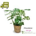 モンステラ8号【送料無料】【鉢カバー付】【立て札&メッセージカード無料】エキゾチックで美しい観葉植物です10P03Dec16