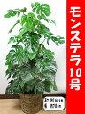 モンステラ10号【送料無料】【籐鉢カバー付】【立て札&メッセージカード無料】エキゾチックで美しい観葉植物です10P05Nov16
