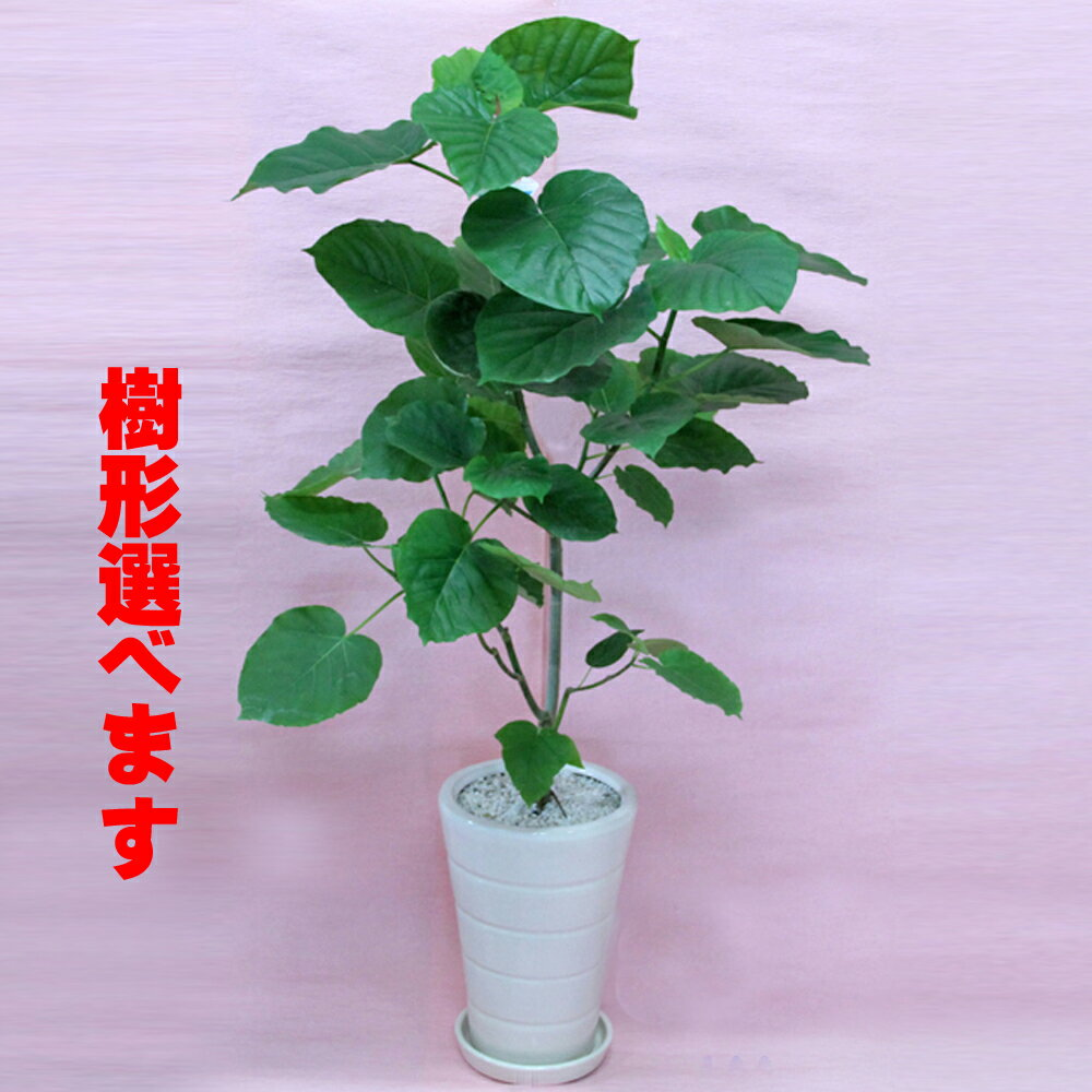 送料無料!観葉植物 ウンベラータ Lサイズ白陶器鉢仕立てインテリア雑誌などでスタイリッシュな植物として人気です。立て札&メッセージカード無料!10P03Dec16