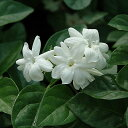 【只今冬特価】ハーブの苗 「アラビアンジャスミン一重咲き(マツリカ一重咲き)  9cmポット」