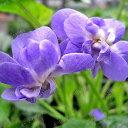 【DM便不可】パルマスミレ(八重咲き)の苗 「パルマ・デ・トゥールーズ 9cmポット」
