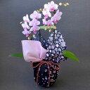 ミディ胡蝶蘭 風呂敷包み 2本立ち ピンク色 花嵐