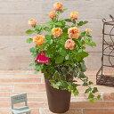 【早割!5%OFF】【母の日フラワーギフト】【送料無料】寄せ植え「バラ ベビーロマンティカ」