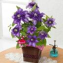 【母の日フラワーギフト】【送料無料】鉢植え「紫の大輪クレマチス?尊敬の想いを込めて?」