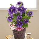 【母の日フラワーギフト】【送料無料】鉢植え「上品な紫の万重咲きクレマチス」
