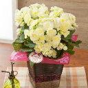 【母の日フラワーギフト】鉢植え「バラ咲きベゴニア ボンボンレモン」