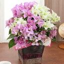 【母の日フラワーギフト】【送料無料】鉢植え「2色植えブーゲンビリア ブルージュ」