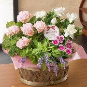 【母の日フラワーギフト】【送料無料】寄せ鉢「麗しの香り」