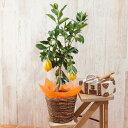 【父の日特集】鉢植え「レモン」