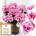 母の日 鉢植え「アジサイ フェアリーアイ〜イイハナ人気NO1〜」吸い込まれてしまいそうに美しい、可憐なピンクのアジサイ