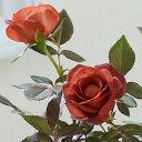 【バラ】【鉢植え・花鉢】「コーヒーオベーション」