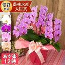 品種選べる ミディ~中輪 胡蝶蘭 3本立ち 蕾含む24輪以上【開店祝い 誕生日 お供え 供花 お祝い 母の日 送料無料 あす楽】[r-ama0006-fw]