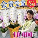 あす楽 送料無料 胡蝶蘭 3本立ち 大輪(24?30輪) 10,000円 選べる11色 あす楽【海老