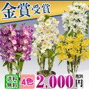 期間限定デンドロビューム早い者勝ち!!【送料無料】2000円(税別)