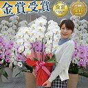 胡蝶蘭 3本立 大輪 選べる7色!(24〜30輪) 10,0...