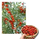 種 ネネ(ミニトマト)受粉しなくても実がなる単為結果のミニトマト!初めての方にもおすすめ![ネネ][ねね][ミニトマト][プチトマト][種][トマト][水耕栽培][家庭菜園][トマトの種][ミニトマト 種]