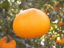 甘さ抜群!柑橘類の中でも最高クラスの美味しさ!希少価値満点です♪高級柑橘「せとか」/約10Kg(約45玉前後)愛媛県・萩森さんが有機肥料100%活用で減農薬栽培!