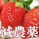 ●減農薬!キレがあるジューシーで濃厚な甘さに酸味の隠し味♪ご家庭用に最適いちご!訳あり減農薬【あまおう】大盛りセット 1ケース(冷蔵便)(規格外品の中大玉。600g入り1パック)×2!福岡県・武下さんが丹念に栽培!イチゴ・苺・いちご