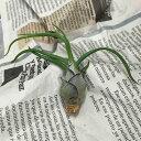 【あす楽対応】お手入れ簡単なエアープランツ* チランジア ブルボーサ EP-009 *お部屋にグリーンを【エアプランツ ティランジア かわいい おしゃれ かっこいい 観葉植物 インテリアグリーン 植物 室内 インテリアプランツ ハンギング ガラス 吊るす】