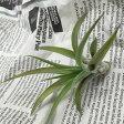 【あす楽対応】お手入れ簡単なエアープランツ* チランジア ベルティナ EP-025 *お部屋にグリーンを【エアプランツ 観葉植物 インテリアグリーン 植物 室内】