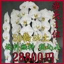 胡蝶蘭 3本立ち 白 大輪50輪以上【送料無料 税込みで28...