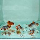 【国産】東錦(弥富産)6cm〜8cm 5匹 川魚 【2点以上5000円以上ご購入で送料無料】