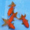 琉金 素赤 3匹 金魚 Sサイズ 約3cm〜約5cm 国産 川魚 【2点以上5000円以上ご購入で送料無料】