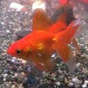 琉金 素赤 1匹 金魚 Sサイズ 約3cm〜約5cm 国産 川魚 【2点以上5000円以上ご購入で送料無料】