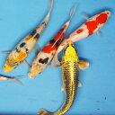 錦鯉Mix (LL) 鯉 色鯉 21〜25cm前後 3匹 ニシキゴイ 生体 川魚 【2点以上5000円以上ご購入で送料無料】