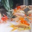 【国産】コメットMix 10匹 S 5cm前後 川魚 【2点以上5000円以上ご購入で送料無料】