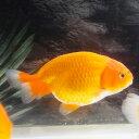 【国産金魚】らんちゅう M(約7cm〜9cm前後)3匹【2点以上5000円以上ご購入で送料無料】