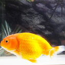 【国産金魚】らんちゅう M(約7cm〜9cm前後)1匹 生体【2点以上5000円以上ご購入で送料無料】