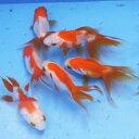 更紗琉金 5匹 金魚 Sサイズ 約3cm〜約5cm 国産 川魚 【2点以上5000円以上ご購入で送料無料】