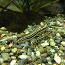 スジシマドジョウ(3匹)4cm〜5cm前後/どじょう 淡水魚...