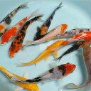 【数量限定】錦鯉Mix (L) 鯉 色鯉 16〜20cm前後 10匹 生体 川魚 【2点以上5000円以上ご購入で送料無料】