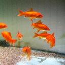 金魚 小赤 エサ用金魚 餌金 10匹 エサ 餌【2点以上5000円以上ご購入で送料無料】
