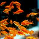 金魚 小赤 エサ用金魚 餌金 30匹 エサ 餌【2点以上5000円以上ご購入で送料無料】
