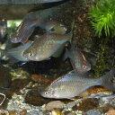 タイリクバラタナゴ 5匹 L 約4cm〜6cm タナゴ 川魚 【2点以上5000円以上ご購入で送料無料】