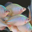 タイリクバラタナゴ 3匹 LL 約6cm〜8cm 特大 タナゴ【2点以上5000円以上ご購入で送料無料】
