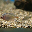 タイリクバラタナゴ 3匹 S〜M 約2cm〜4cm タナゴ 川魚 【2点以上5000円以上ご購入で送料無料】