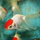 丹頂 国産金魚 1匹 Mサイズ 約5cm〜約7cm 川魚 【2点以上5000円以上ご購入で送料無料】