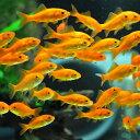 金魚 小赤 エサ用金魚 餌金 100匹 エサ 餌 生餌 餌金 生体【2点以上5000円以上ご購入で送料無料】