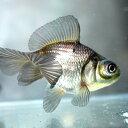青文魚(セイブンギョ) 6cm前後 1匹 川魚 【2点以上5000円以上ご購入で送料無料】