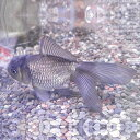 青文魚(セイブンギョ) 6cm前後 3匹 川魚 【2点以上5000円以上ご購入で送料無料】